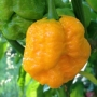 Moruga_Yellow__1_561c787c08b1d